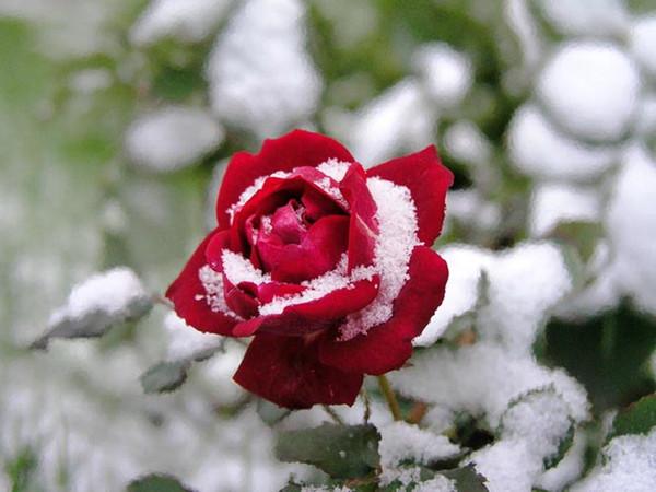 """Résultat de recherche d'images pour """"neige et rose rouge"""""""