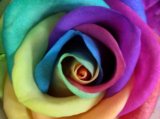 Rose Multicolore Signification Elus Epm