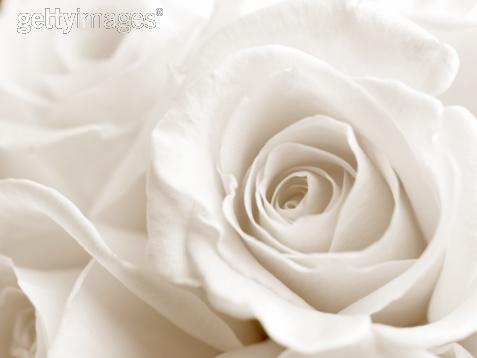Rose blanche 6 - Rose de noel blanche ...